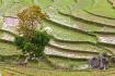 Rice Field In Nam Sai