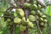 Coconut trees in Coconut island