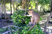 Monkey in Cat Ba National Park