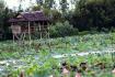 A Lotus Lake