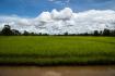 Rice Paddy On Don Daeng Island