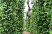Rows Of Pepper Plants
