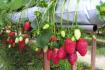 Dalat Stawberry