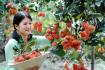 Harvesting Rambutan Fruit In Ben Tre