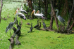 Storks In Gao Giong