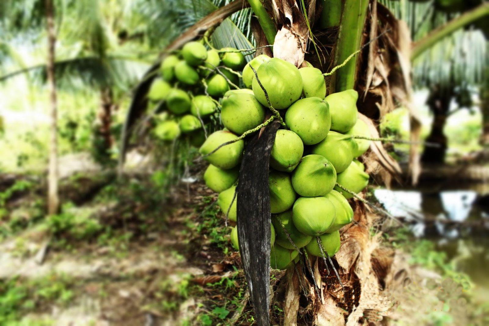 Coconut Garden in Ben Tre