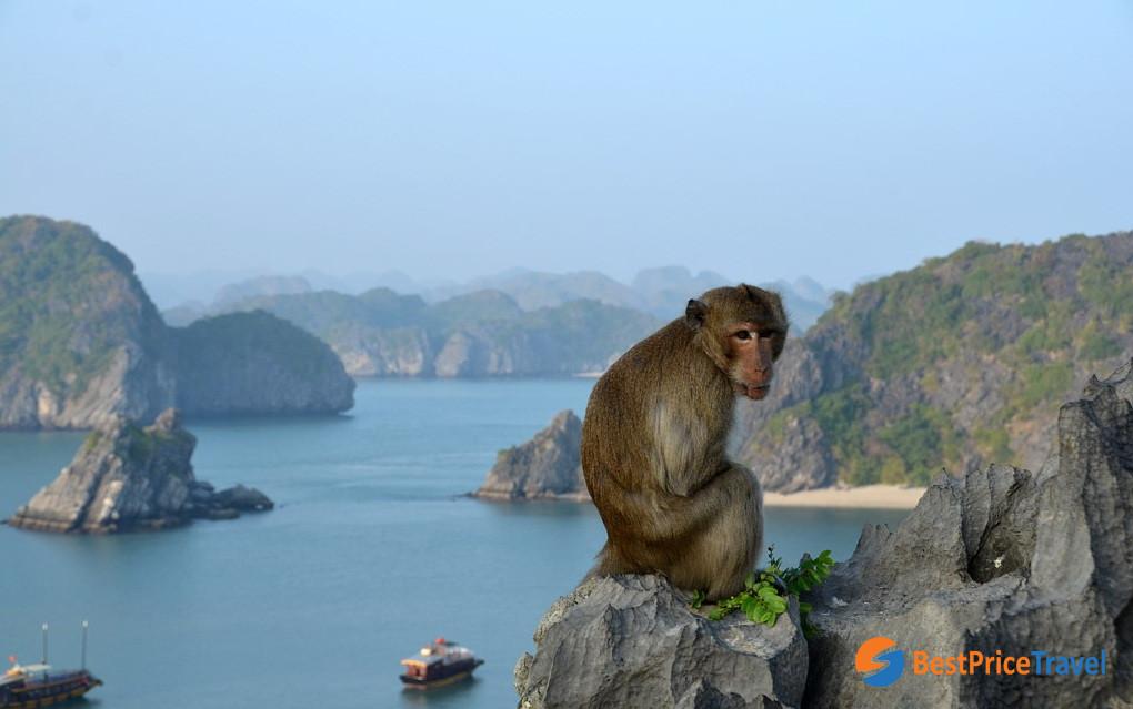 Monkey in Cat Ba Island