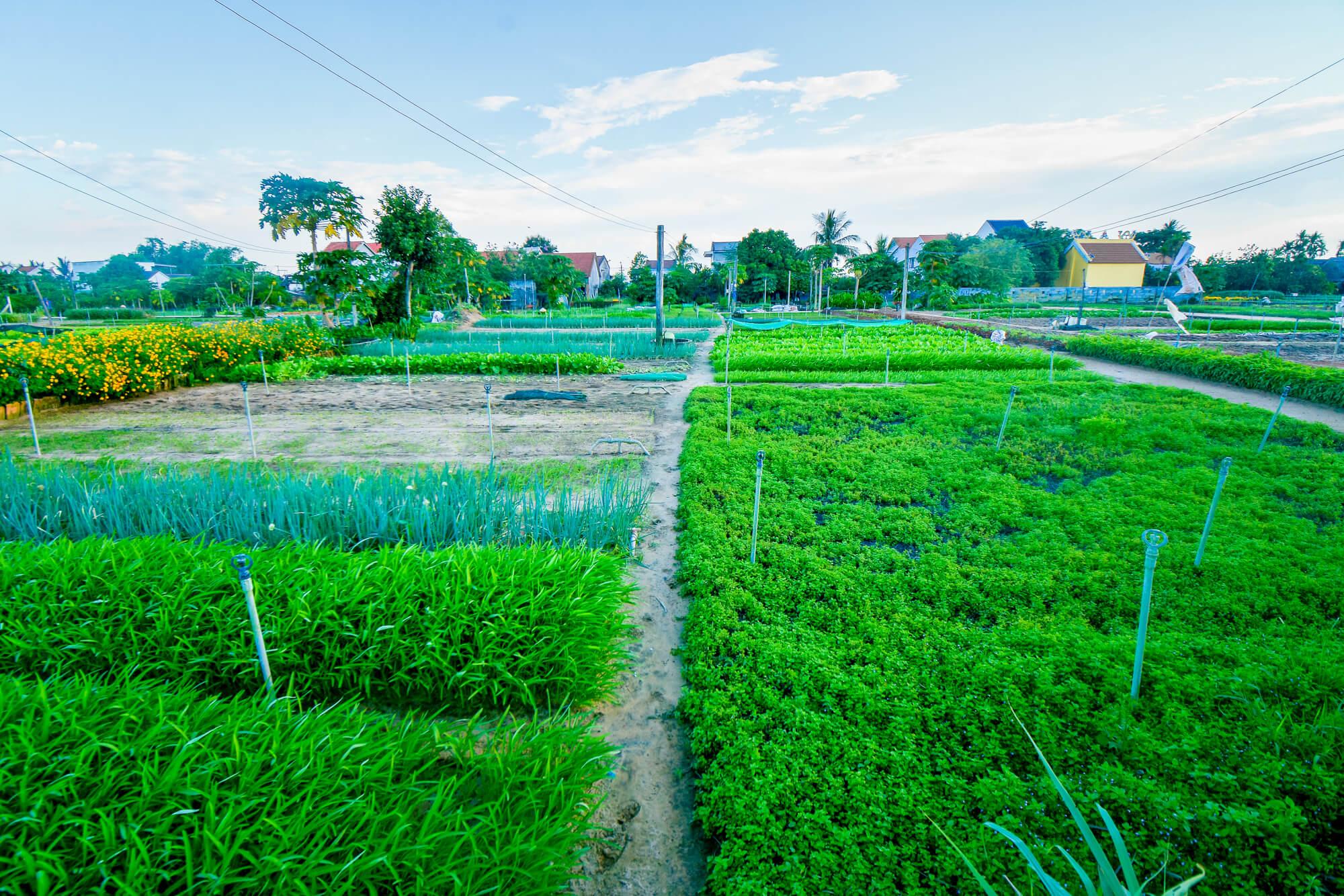 Tra Que vegestable garden