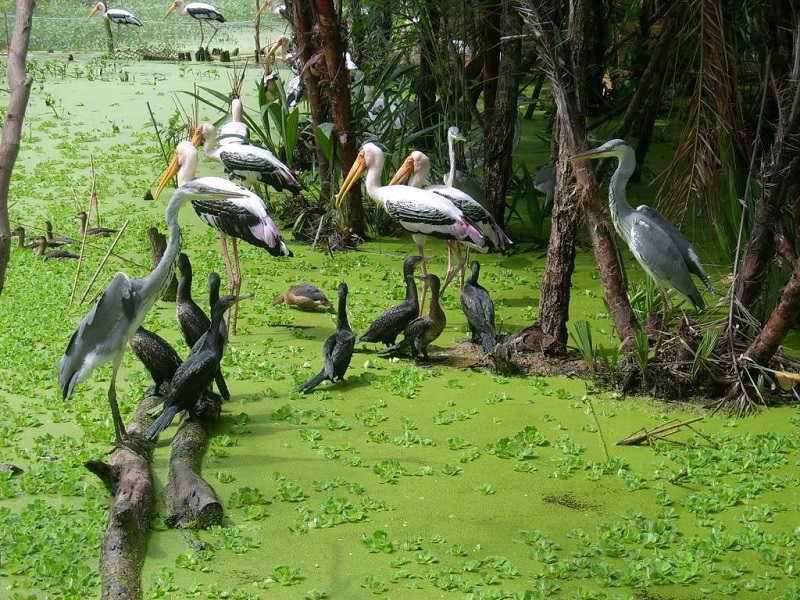 Storks In Gao Giong cao lanh