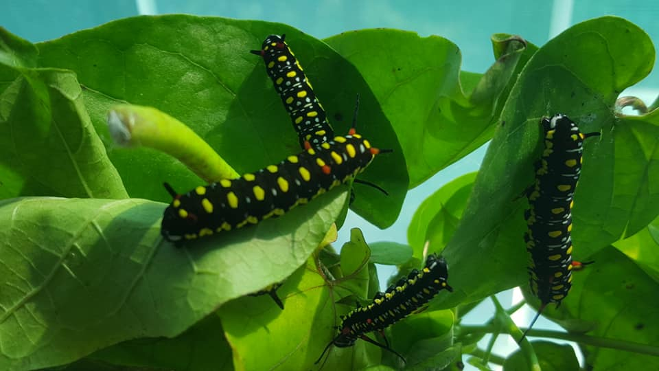 Butterfly Worm