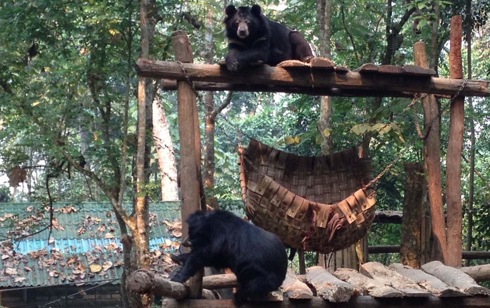 An Asiatic Black Bear in the Tat Kuang Si Rescue Centre