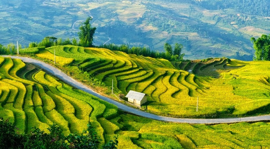 Yellow terrace field in Sapa - tips for first time visitors when traveling to vietnam