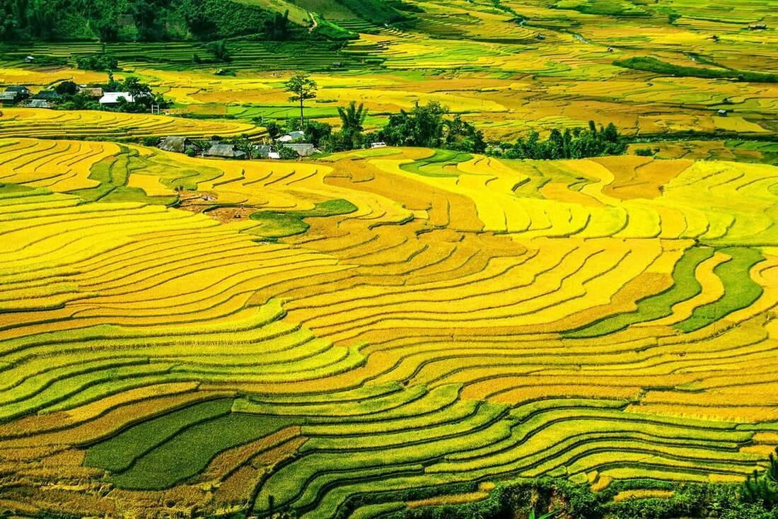 Splendid nature painting of Golden Rice Fields in Vietnam