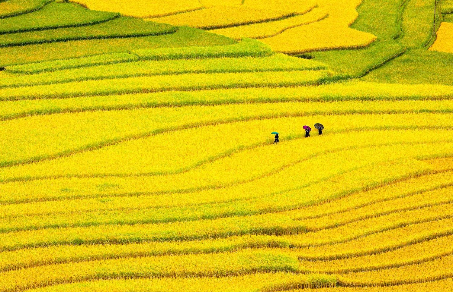 Best time to see golden rice fields in Vietnam: from Sept to Oct