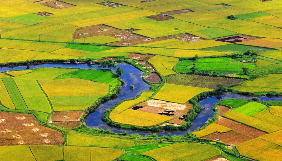 Golden rice fields of Bac Son Valley in harvesting seasons