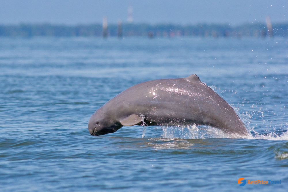 The unique Mekong Irrawaddy Dolphin
