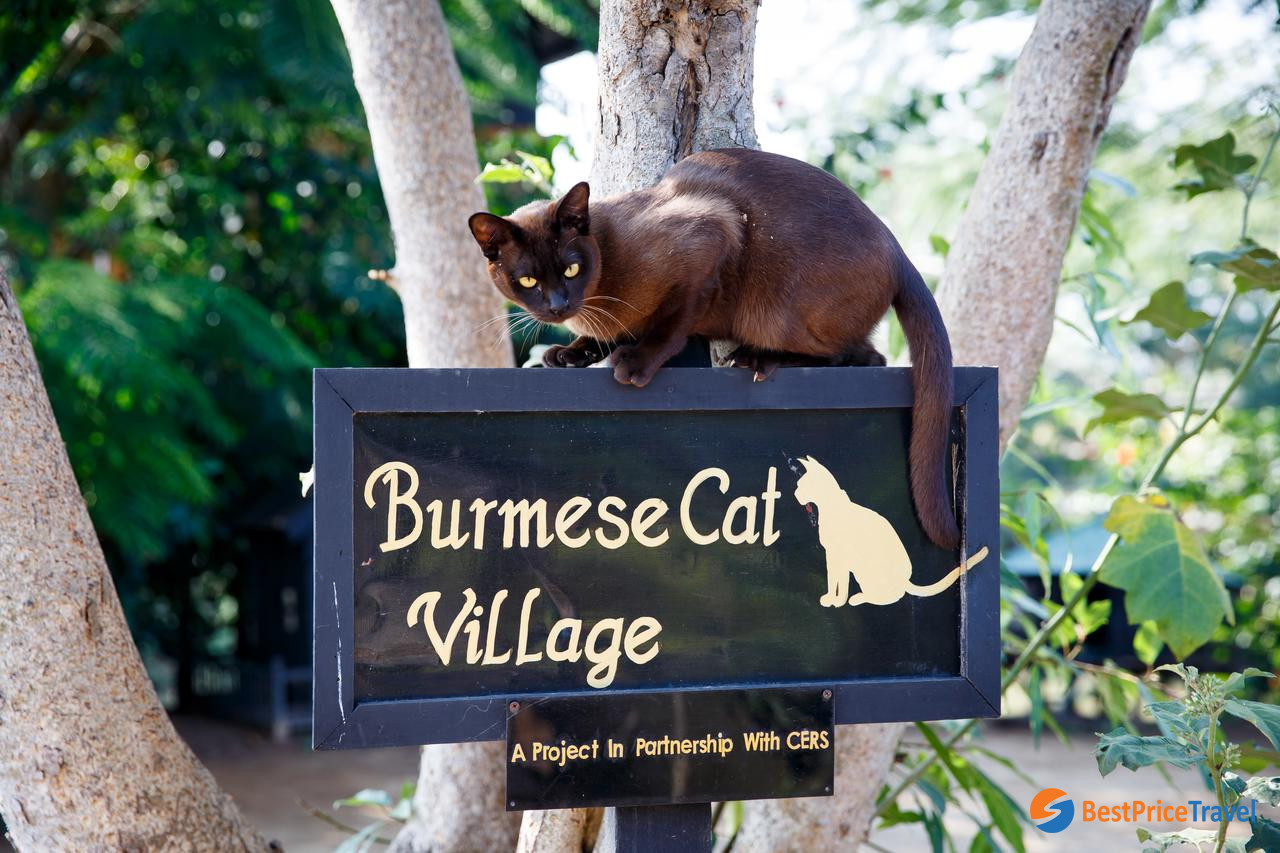 Visit Burmese Cat Village project during a trip to floating villages in Myanmar