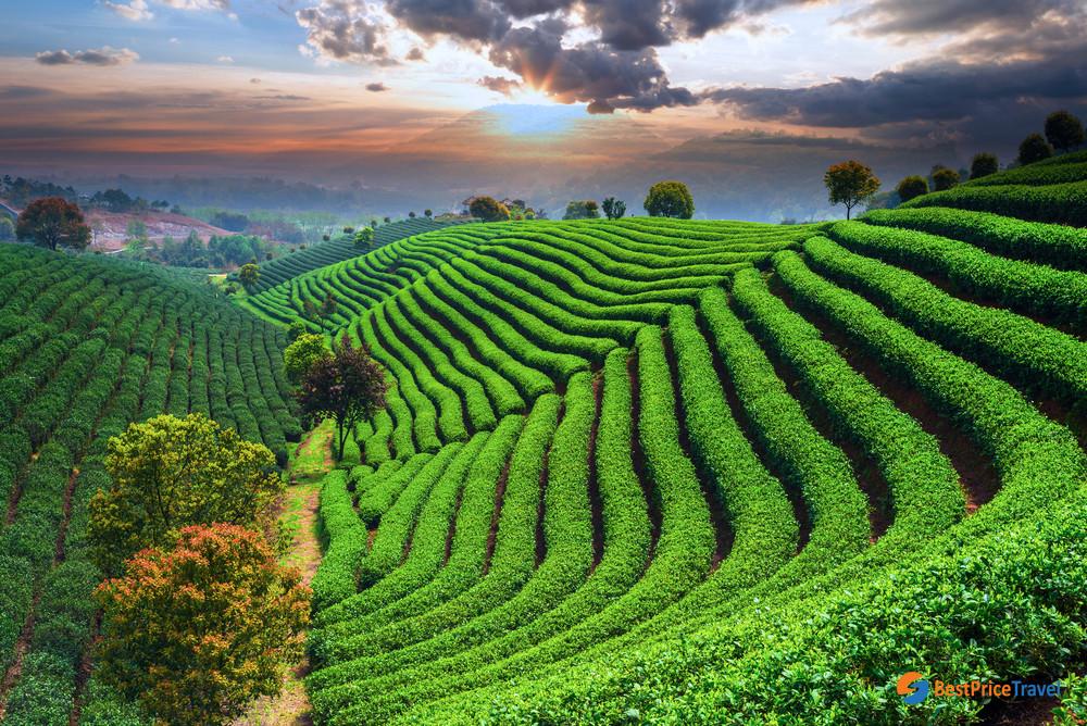 Thanh Chuong tea farm