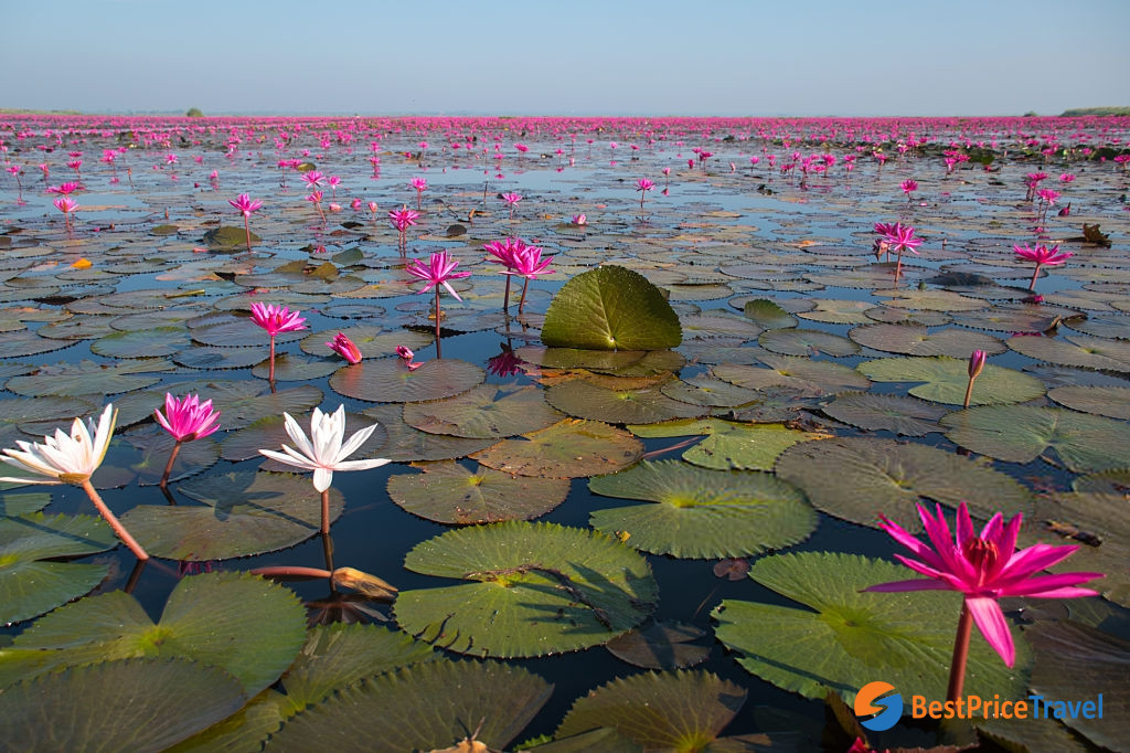 water lily in season