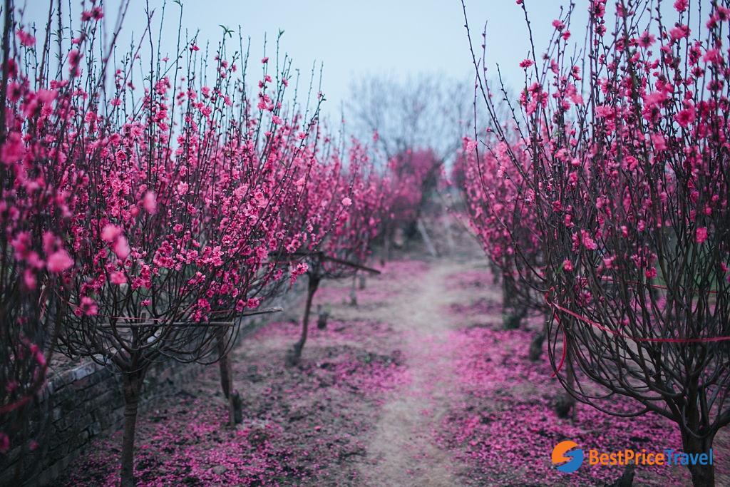 Cherry Blossom Garden in Hanoi - Vietnam's Tet Flower Markets