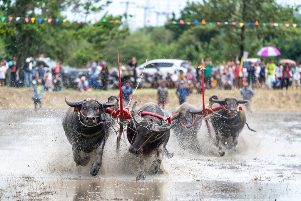 Buffalo racing at Wing Kwai Festival