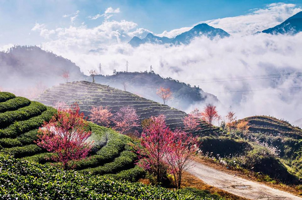 best time to see cherry blossom in sapa
