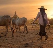 21621 Myanmar River Cruising Bagan Herder