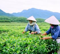 Tea Farm 2
