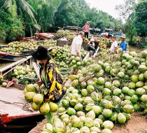 Coconuts In Ben Tre