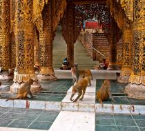 Monkey in Mount Popa pagoda