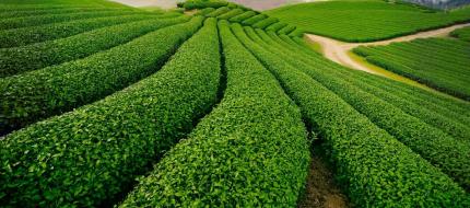 Tea Farm 1