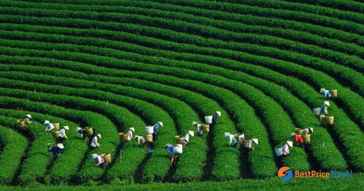 Tea Farm 3